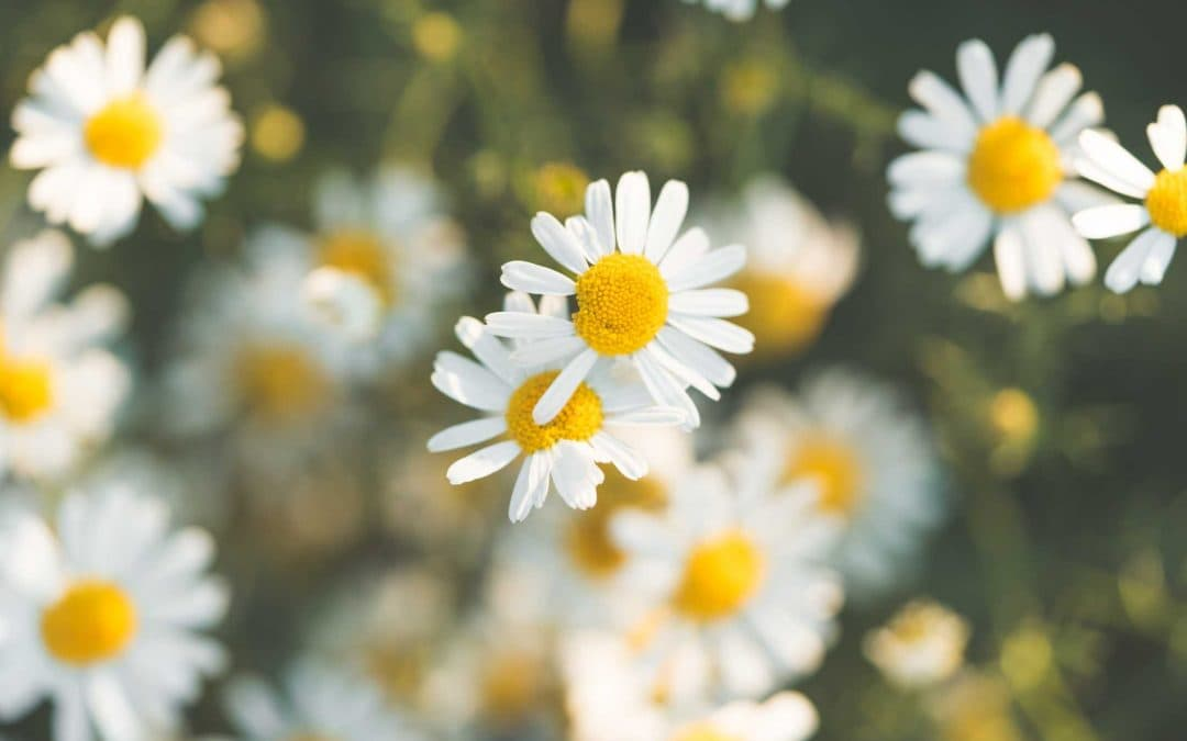 Chinese herbal medicines to combat hayfever this spring