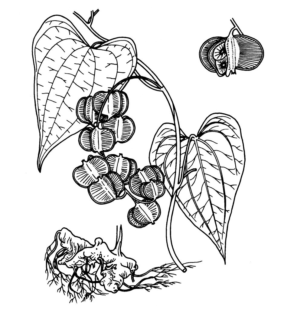 Rhizoma Dioscoreae Hypoglaucae